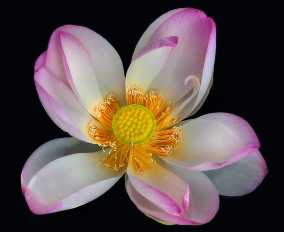 The Indian Lotus (Nelumbo nucifera)