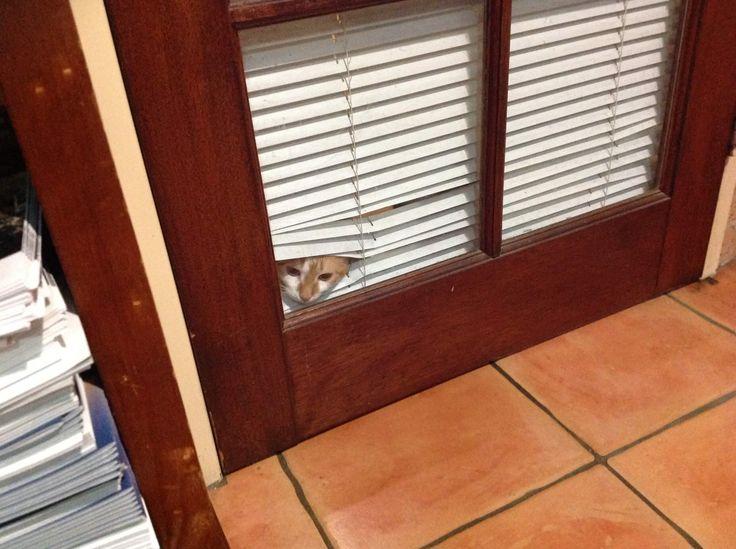 Peek-A-Boo 🐱 Thanks to Veneta customer Julie for sending in a picture of her gorgeous cat peeking through her Aluminium Venetian Blind.