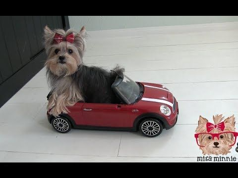Amazing Cute Dog Tricks with Tiny Dog Misa Minnie - You wont believe this little dog's tricks! Start your day off with a smile. :)  #YORKIE