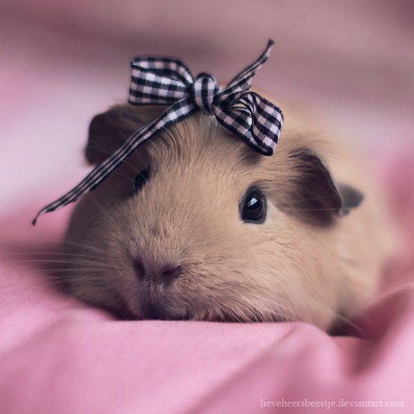 meet my new guinea pig