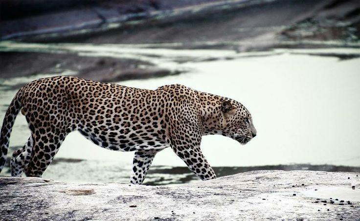 Life's Best #wild #jaguar