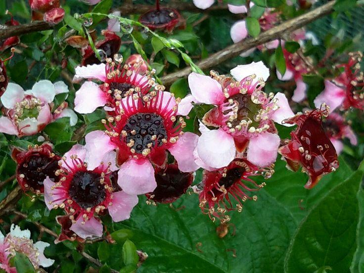 """Манука, существует 83 вида, известны, как """"Чайные деревья""""...  что самое целебное растет в Новой Зеландии? Отгадка: дикий чайный кустарник манука. На языке новозеландских туземцев маори манука означает хорошее настроение, бодрость, подъем, энтузиазм, в общем— манука."""