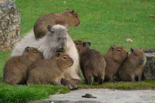 Factory Worker Gets Surprise Visit From Pack Of World's Largest Rodents