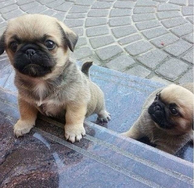 I love this picture! My brother has two pugs and one of them looked just like the one in this picture.
