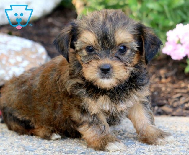 Puppy Finder Find Buy A Dog Today By Using Our Petfinder In 2020 Puppies Near Me Puppies Puppy Finder