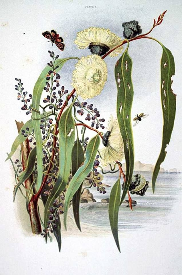 Louisa Anne Meredith (Anglo/Australian writer and illustrator) 1812 - 1895 Gum Flowers and Love, 1860 [Pl. V] coloured lithographic print Tasmaniana Library, Tasmania