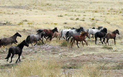 Le Mustang est le cheval sauvage par excellence de l'Ouest des États-Unis, un symbole de l'histoire, un acteur de la conquête de l'Ouest. Mais, à ce jour, les Mustangs ne sont plus autant appréciés et le problème de leur nombre commence à se poser. À travers cet article, je vous propose d'en savoir plus sur ces légendes nord-américaines afin de comprendre les causes et les conséquences de l'intolérance qu'ils sont en train d'engendrer au sein de la population.