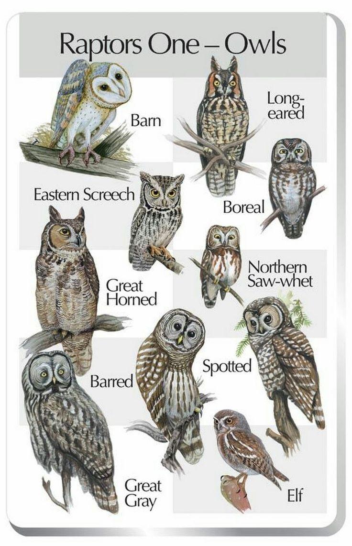 Single treffen owl note call forwarding Paul Bannick Photography