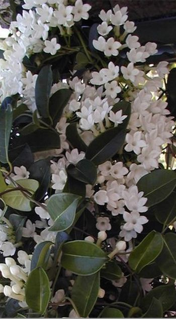 Jasmine: Long Flowering  Fragrant - How to Grow