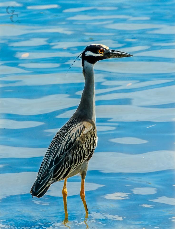 Ciguena azul flodirana