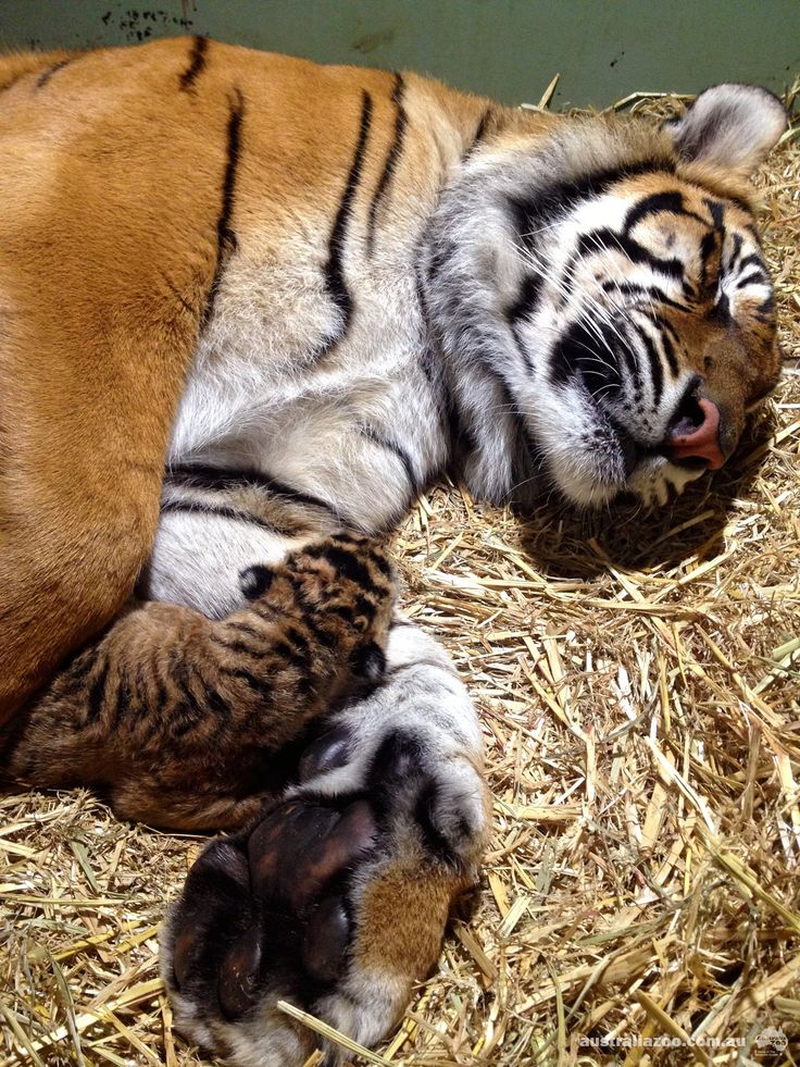 Kaitlyn, a six year-old Sumatran Tiger, delivered two healthy cubs on Aug 22—the first tiger cubs to be born at Australia Zoo in it 43-year history! Kaitlyn is considered one of the most genetically valuable tigers in the world, so with fewer than 500 Sumatran Tigers left in the wild, the birth of her cubs is a significant win for the species. See and read more at ZooBorns: http://www.zooborns.com/zooborns/2013/08/sumatran-tiger-australia-zoo.html