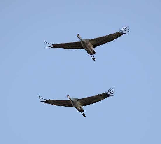 Sandhill Cranes in Willcox AZ - What a Party!!  http://roadslesstraveled.us/sandhill-cranes-in-willcox-arizona-whitewater-draw/