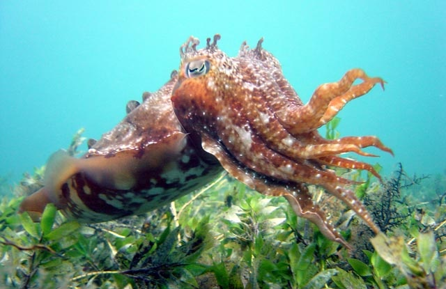 Giant Cuttlefish of Melbourne's Port Phillip Bay.
