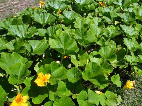 Les 25 meilleures id es concernant plante rampante sur pinterest petit jardin l 39 inglaise - Petit jardin graines et plantes le havre ...