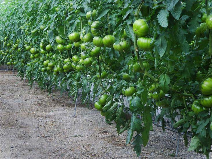 Aeroponic Tomatoes On