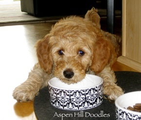 come. on. if anyone would like to give me a standard goldendoodle puppy that would be super. thanks.
