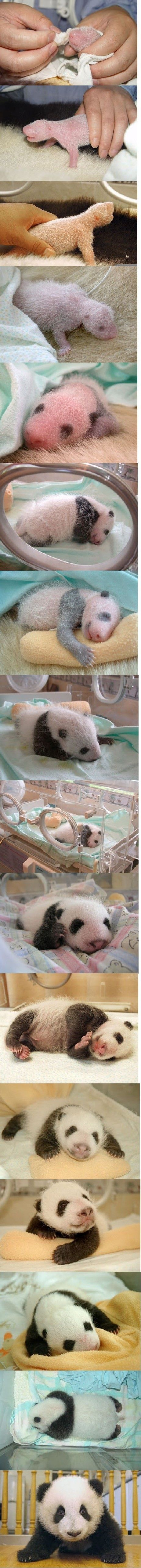 A newborn panda weighs three to five ounces. Pink, hairless, and blind, the cub is 1/900th the size of its mother. Except for a marsupial (such as the kangaroo or opossum), panda babies are the smallest newborn mammals relative to their mother's size.