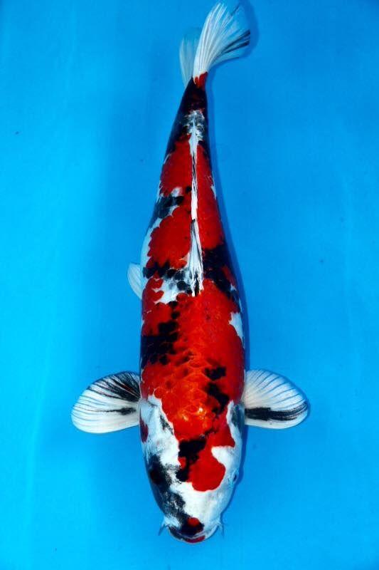 17 best images about goldfish koi on pinterest auction for Goldfisch und koi