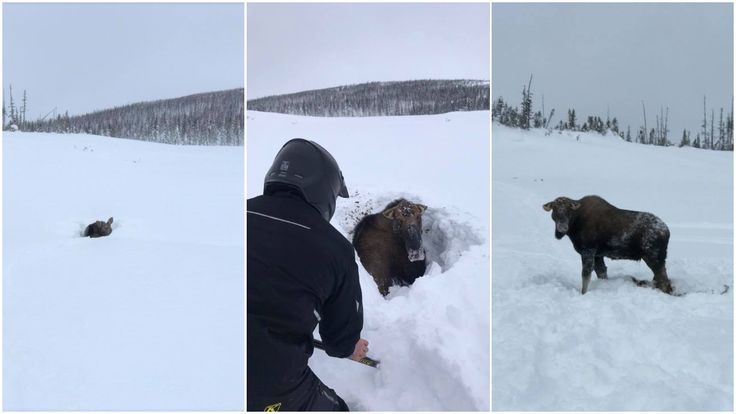 Snowmobilers in Newfoundland braved heavy snow and potential moose wrath to dig this giant beast out of his snowy predicament.