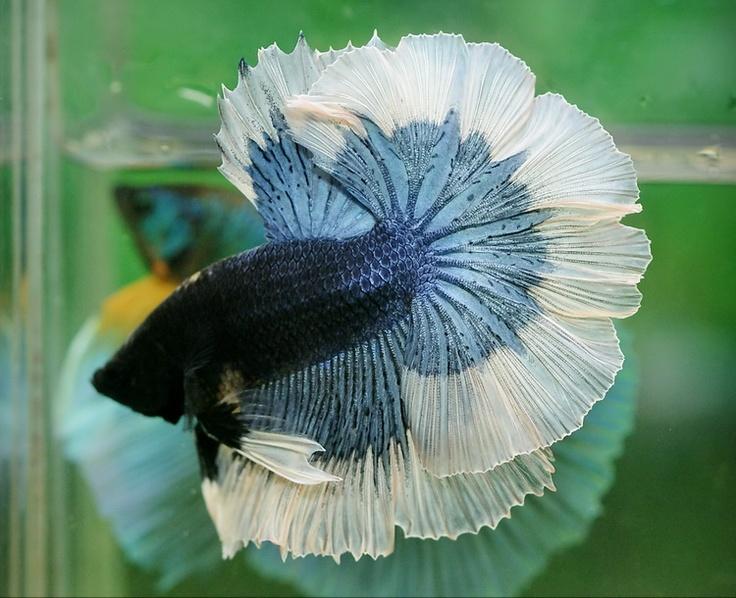 Steel blue butterfly fancy bettas pinterest for Most beautiful betta fish
