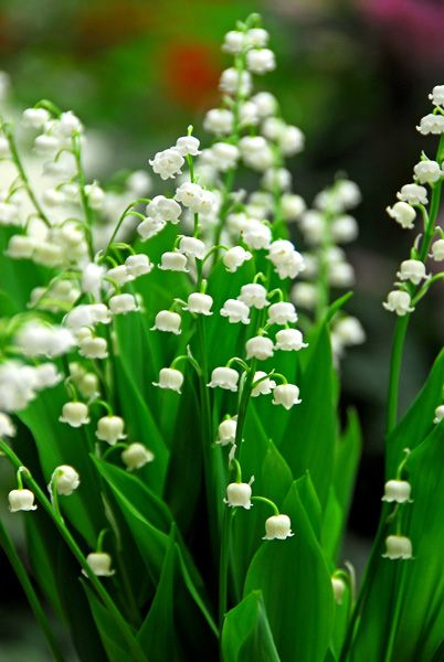 for shade... Buy lily-of-the-valley Convallaria majalis: Delivery by Crocus.co.uk