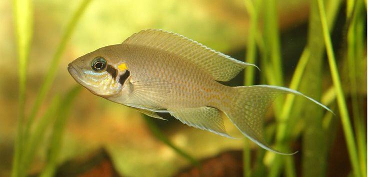 """En étudiant des groupes de poissons """"princesses d'eau douce"""" en Afrique, des chercheurs du monde entier ont réussi à comprendre l'importance des prédateurs dans l'évolution d'une société animale."""