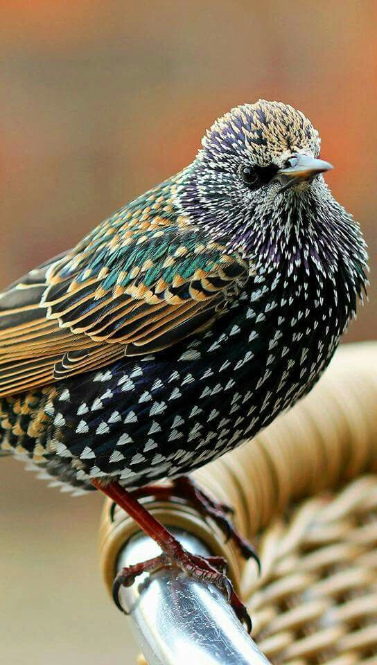 ホシムクドリ (星椋鳥) Common Starling (Sturnus vulgaris)