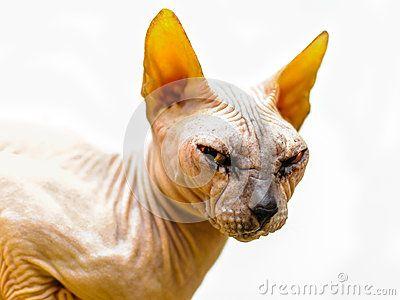 Sphinx cat portrait head eyes