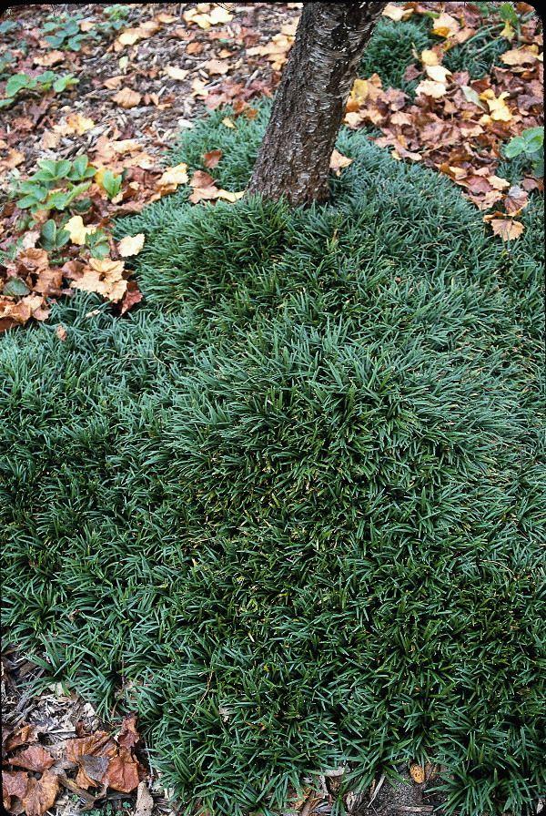 """Dwarf Mondo Grass for sale buy Ophiopogon japonicus 'Gyoku Ryu' -3"""" tall"""