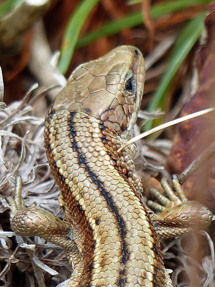 Common lizard, Grave of the Yellow Men, July 2017.
