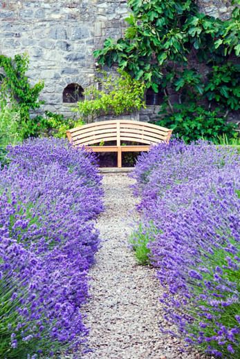 Lavender Munstead, lavandula angustifolia Munstead, English Lavender 'Munstead', Lavandula 'Munstead', Purple flowers, Drought tolerant plant, Deer resistant plants, fragrant flowers