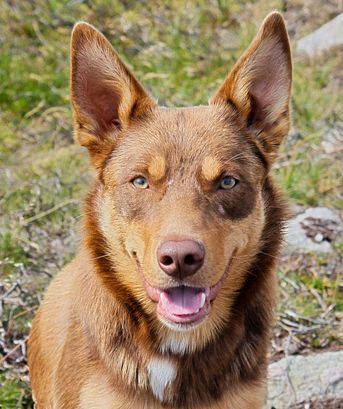 The Australian Kelpie is extremely alert, eager to please and highly intelligent. Australian Kelpies are loyal and devoted to their job.