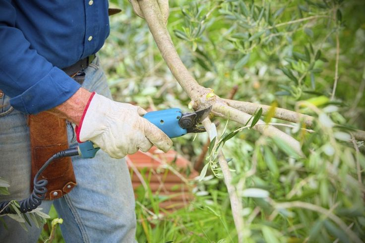 25 best ideas about pruning olive trees on pinterest for Pruning olive trees in pots