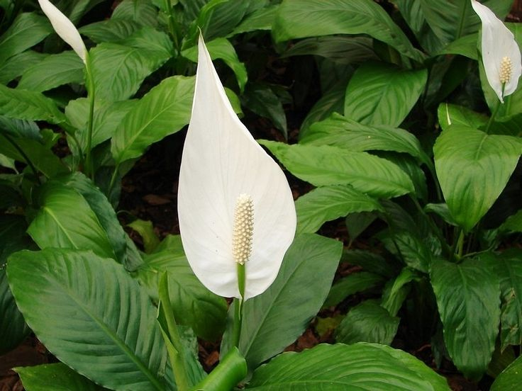 171 best images about spathiphyllum spatifilyum on for Spathiphyllum wallisii