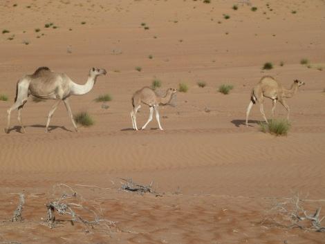 non possono mancare i cammelli ;)
