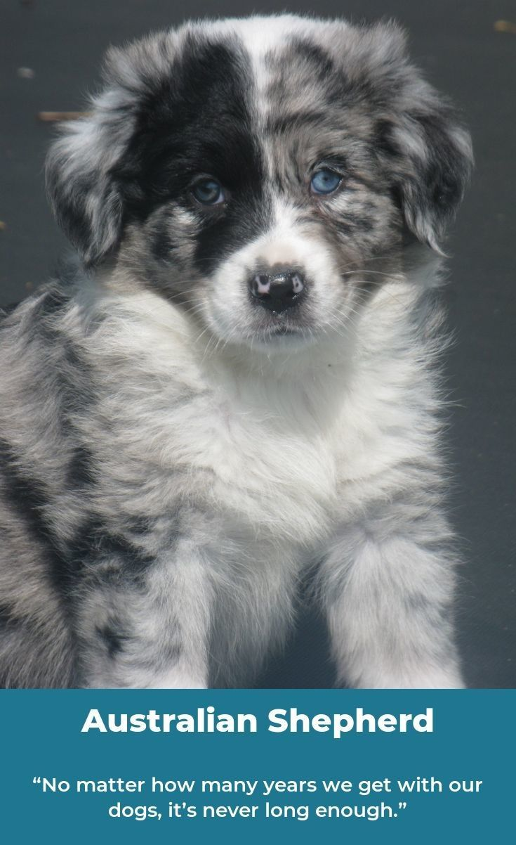Australian Shepherd Smart Working Dog Aussie Dogs Australian