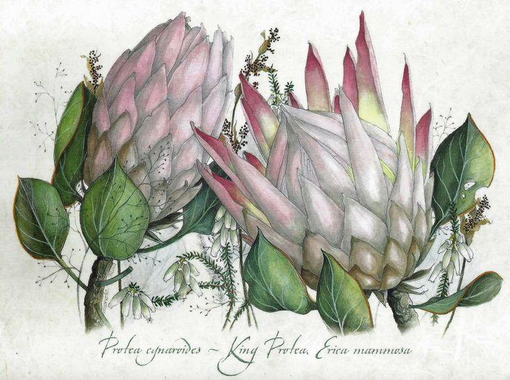 Protea cynaroides ~ King Protea, Erica mammosa