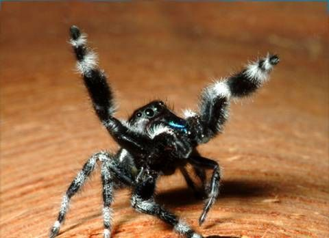 nature jumping spiders   coolest images