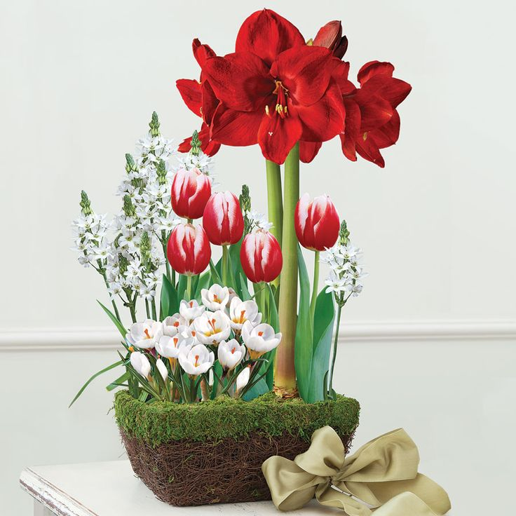 Delightful Majestic Bulb Garden: This Gorgeous Gift Includes 1 Red Lion Amaryllis, 5  Leen Van