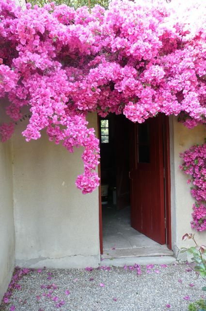 BouganvillaRed Doors, The Doors, Bouganvilla Beautiful, Arizona Gardens, Arizona Plants, Decor Inspiration, Flower Gardens, Bouganvilla Vines, Bougainvillea Gardens