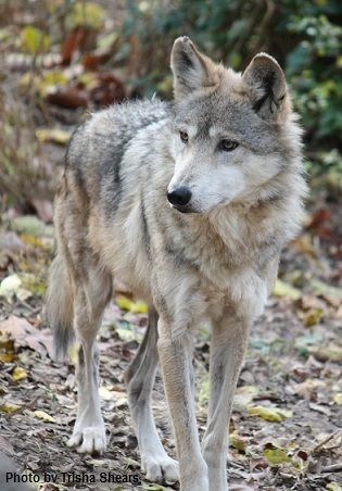 The Mexican Gray wolf(Canis lupus baileyi) is a subspecies of the Gray wolf(Canis lupus) native to southeastern Arizona, southern New Mexico, western Texas and northern Mexico.Considered extremely threatened by extinction.      Scientific name:        by Trisha Shears.