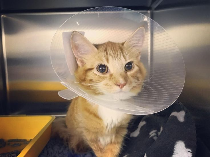 Happy #caturday from Jessie  showing all the other cats out there that you can still look gorgeous in a buster collar ! #catsofinstagram #instacat #kitten #ginger #gingercats #bustercollar #vets #vetsofinstagram #vetnursesofinstagram #vetnurse #rduk #castlevetsreading #vetpost via: #probeatzpromo