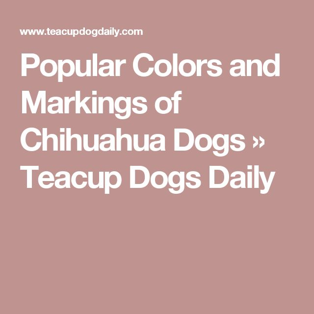Popular Colors and Markings of Chihuahua Dogs » Teacup Dogs Daily