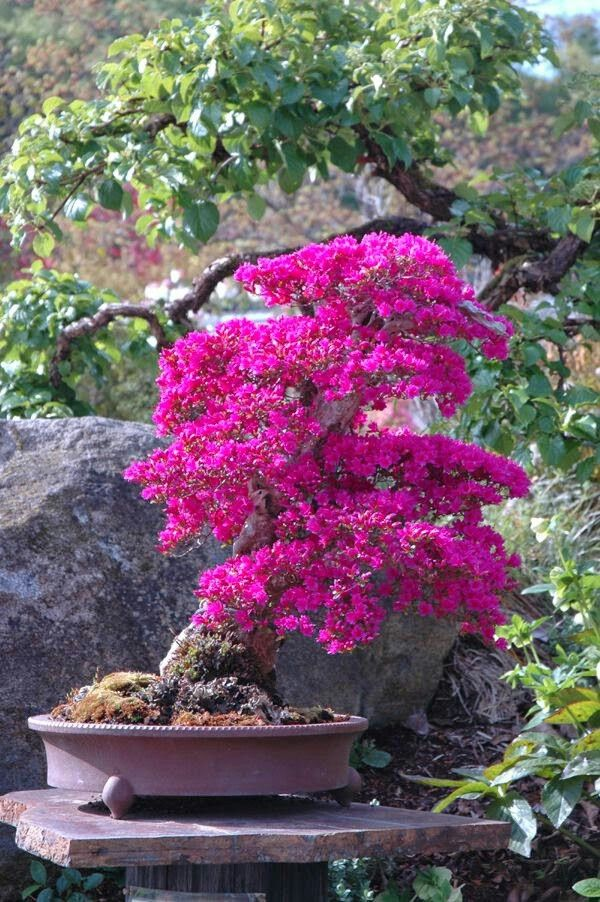 17 migliori immagini su bonsai plants su pinterest fiori for Bonsai ciliegio