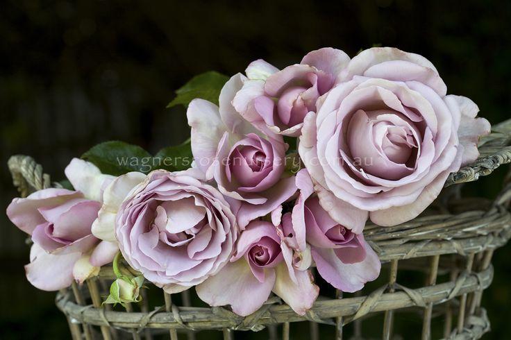 Blue Emotion.  Delbard French roses.