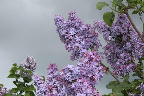 Flieder, Edelflieder Amethyst: Syringa vulgaris Amethyst: Historischer deutscher Flieder mit einfachen lila Blüten und intensivem Duft