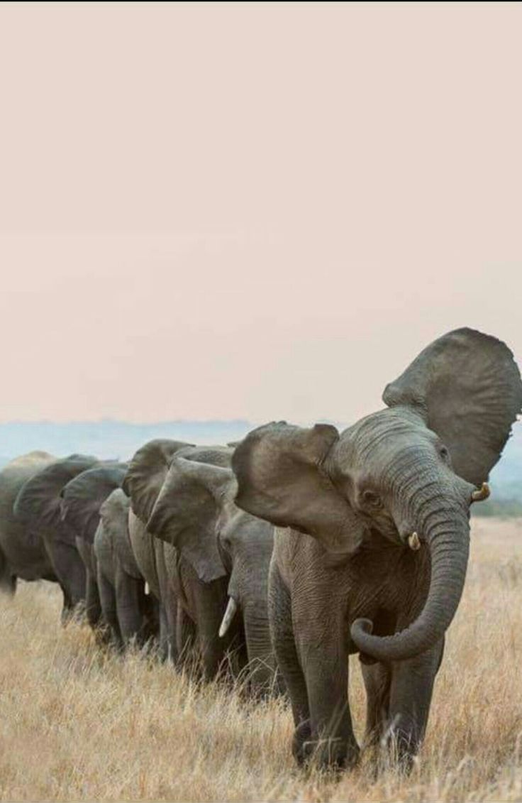 African Elephants following the matriarch...