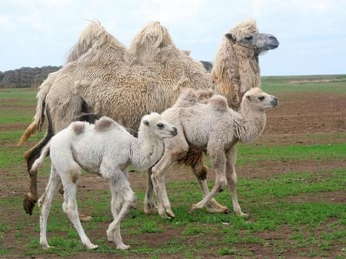 Camel family, the two humped kind.