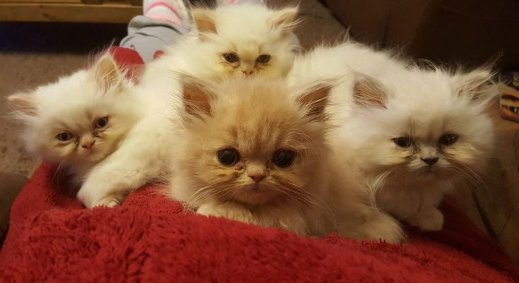 I have 2 gorgeous Persian girls looking for their forever homes. One is a solid red, the other a lilac colourpoint and both are adorable, cuddly littl...