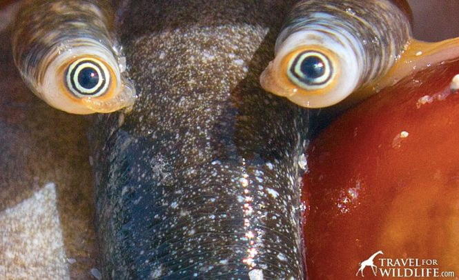 The Weirdest Eyes in the Ocean Belong to the Florida Fighting Conch